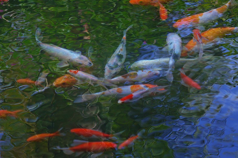 Canggu Bliss Sanctuary beautiful pond with fish