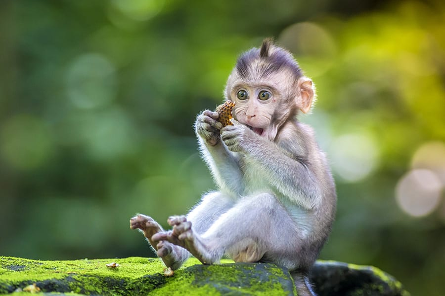 gorgeous monkey Ubud Monkey Forest Bali