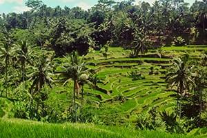 Rice Paddies - Ubud Bali retreat
